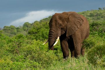 Elefant unterwegs,Südafrika von Ingrid Sanders
