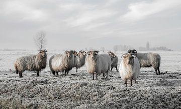 Schafe im Polder von MS Fotografie | Marc van der Stelt