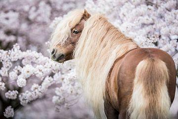 Shetlander in de bloesem van Emma van Veldhuisen
