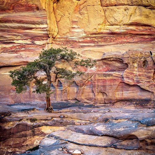 boom op de rotsen - Petra, Jordanië van