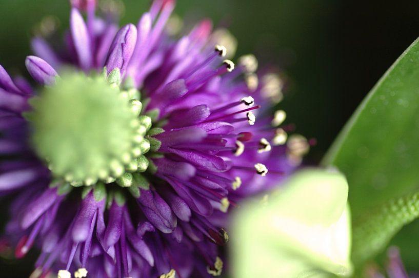 Paarse bloem von Agnes Meijer