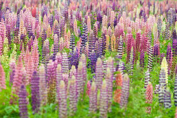 Bloemenveld met roze en paarse lupine bloemen