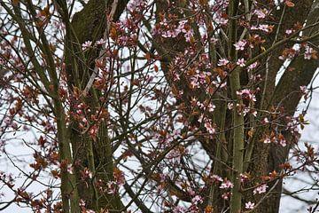 Japanse sierkers, het bloesem seizoen begint van J..M de Jong-Jansen