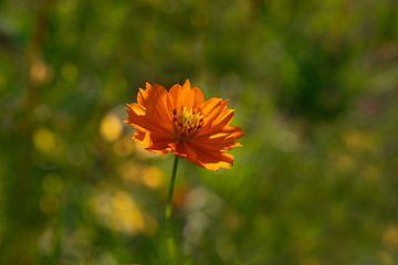 Oranje bloem., de cosmea sunrise van Ellis Peeters