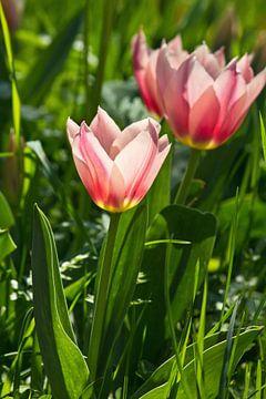 rosa Tulpen im Sonnenlicht von Anja B. Schäfer