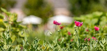 Rosa Mohnblumen im Blumenfeld von Percy's fotografie