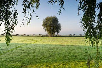 Koeien van weiland naar stal