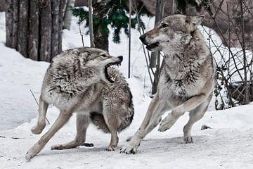 Une louve femelle s'en prend à un loup mâle sur Michael Semenov