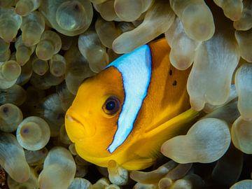 Clownvis (nemo) in de Rode Zee van René Weterings