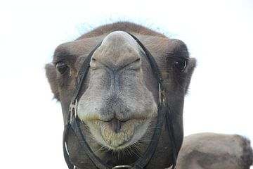 Kamelenkop van