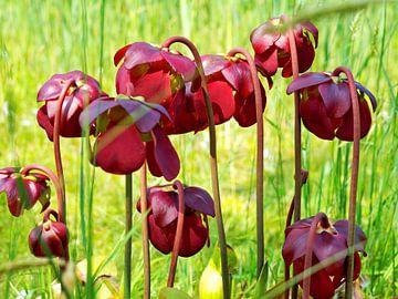Purple Pitcherplant von Eduard Lamping