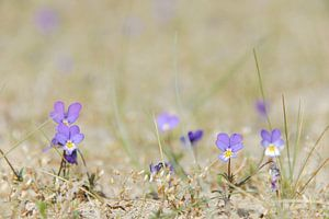 Duinviooltje met paarse bloemetjes in het zand