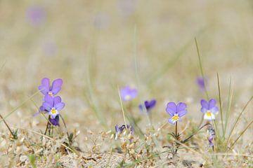 Viola canina sur iPics Photography