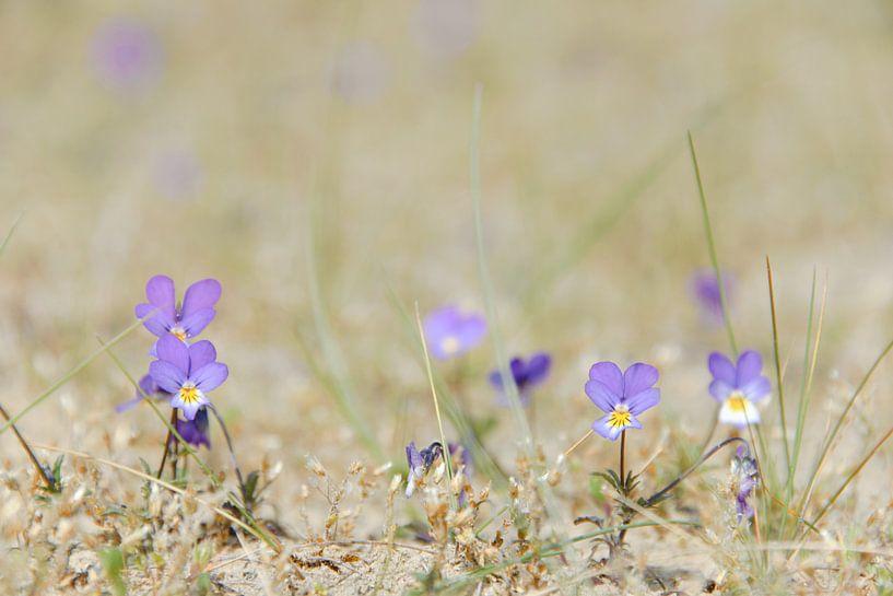 Duinviooltje met paarse bloemetjes in het zand van iPics Photography