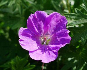 Een roze tuingeranium. van Wim vd Neut