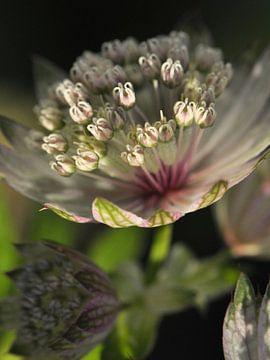 Close-up bloem Zeeuws Knoopje (Astrantia) van JB Art