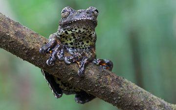 Neotropical marbled tree frog (Hyla marmorata) sur Stijn de Jong