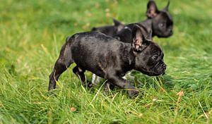 Französische Bulldogge 9