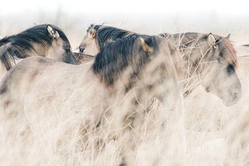 Konikpaarden in Oostvaardersplassen