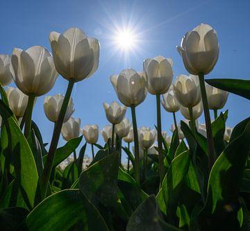 Witte tulpen in het veld von Michel Knikker