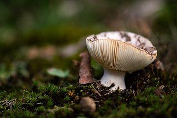 champignon beige sur Tania Perneel