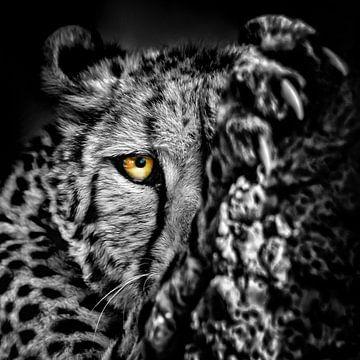 Nahaufnahme eines Geparden von Chihong