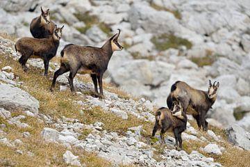 Gämse ( Rupicapra rupicapra ), Alt- und Jungtiere, Allgäuer Alpen, Deutschland. von wunderbare Erde