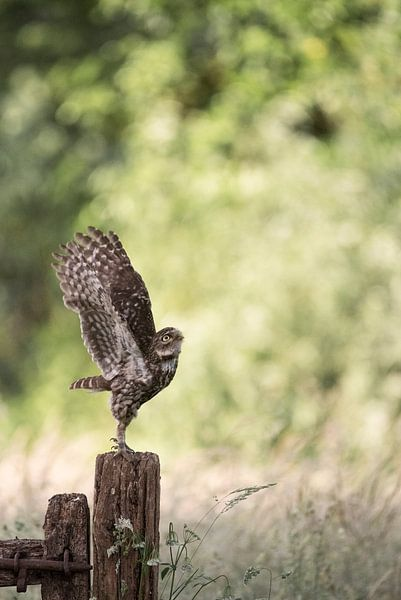 Steenuiltje vliegt op naar het nest.  van Francis Dost
