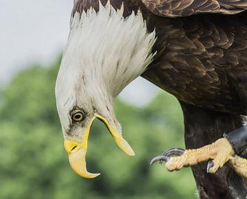 Der amerikanische Fischadler von Stephan Scheffer
