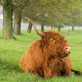 Schotse Hooglander in het Gras van Charlene van Koesveld