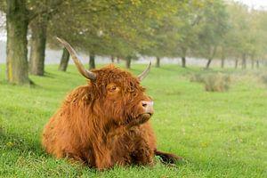 Schotse Hooglander in het Gras van