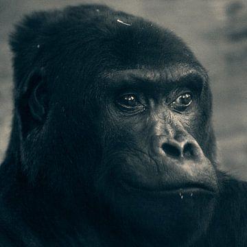 Gorilla von David Dirkx