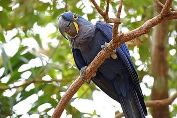 Hyazinthara auf der Lauer (Pantanal, Brasilien) von Koolspix