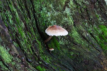 Een grote en een kleine paddenstoel aan de boom van Frank Herrmann