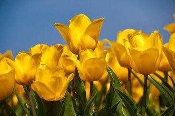 Gele tulpen tegen blauwe lucht van Ad Jekel