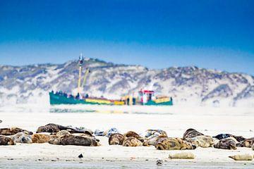 Zeehonden op de gronden voor Terschelling van