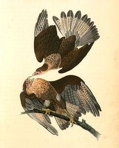 Caracara Eagle., Audubon, John James, 1785-1851, Adelaar