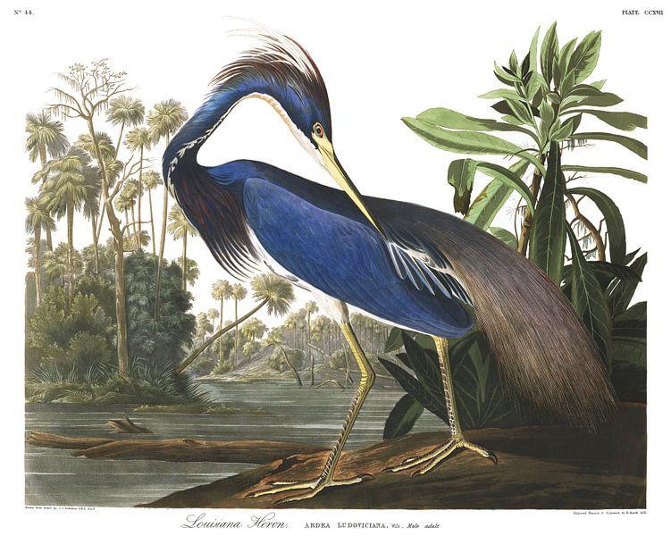 Witbuikreiger van Birds of America