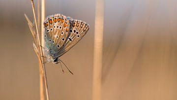 Icarusblauwtje op gras bij avondlicht van Jan Jongejan