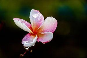 Leelawadee mit Regentropfen