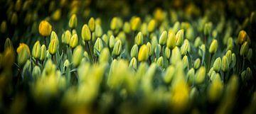 tulipes néerlandais sur Alex Hiemstra