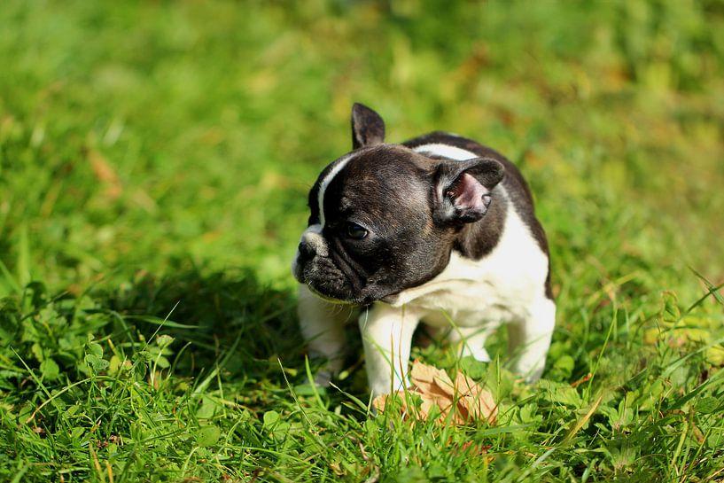 Französische Bulldogge 5 van Heike Hultsch
