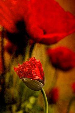Rode klaprozen van Ellen Driesse