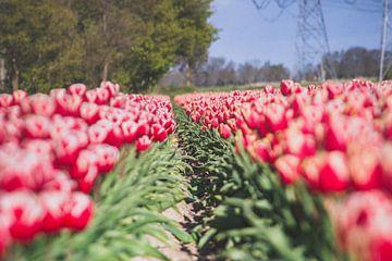 Doorkijkje in het tulpenveld van Fotografiecor .nl