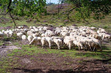 Schafe auf der Heide bei der Posbank von Marcel Rommens