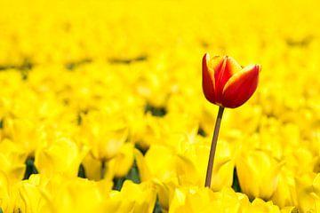 Tulp uit de polder van Yvonne van Zuiden