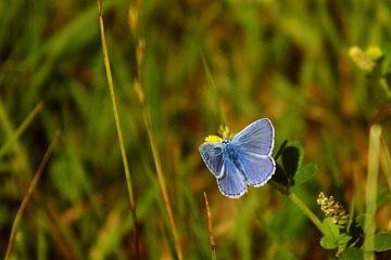 acacia blauwtje von Rubin Versigny
