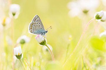 icarusblauwtje op madeliefjes von Francois Debets