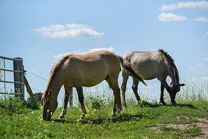Twee paarden bij Palmerswaard