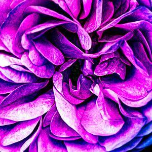 Detail van het hart van een roos  uit de tuin